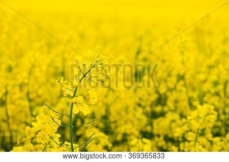 Flowering Oilseed Rapeseed, Detail Of Flowering Rapeseed Canola Or Colza, Plant For Green Energy And