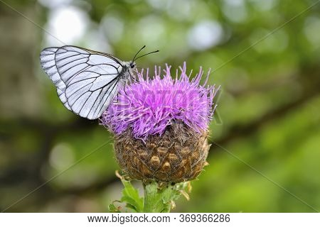 White Butterfly On Levzeya Saflorovidny Or Maral Root (rhaponticum Carthamoides) Wild Medicinal Plan