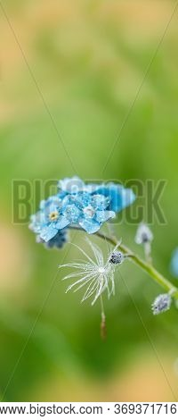 Vertical Thin Dandelion Seeds. Raindrops And Dew.forget Me Not.forget-me-not Macro. Violet Blue Blur