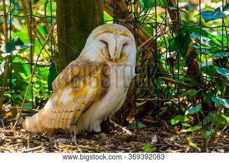Closeup Portrait Of A Common Barn Owl, Bird Specie From The Netherlands, Europe