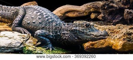 African Dwarf Crocodile In Closeup, Tropical And Vulnerable Reptile Specie From Africa