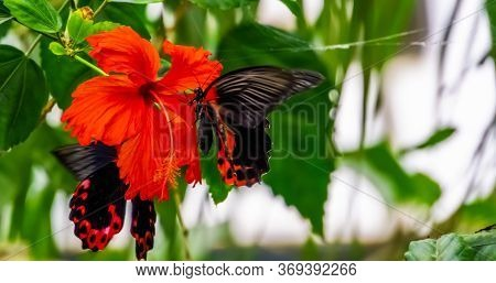 Side Closeup Of A Red Scarlet Butterfly On A Chinese Hibiscus Flower, Tropical Insect Specie From As