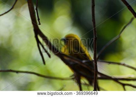 Defocused Forest With Southern Masked Weaver (ploceus Velatus), Pretoria, South Africa