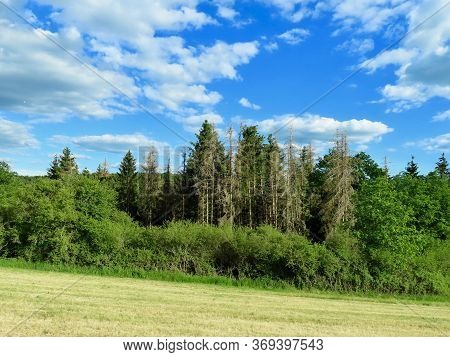 Fir Trees Killed By Summer Drought And Bark Beetle Infestation In North Of Luxembourg, Eislek And Ar
