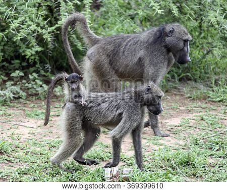 Family Of Baboon Monkeys Moves Across The Savannah. A Small Baboon Sits On The Back Of A Female Duri