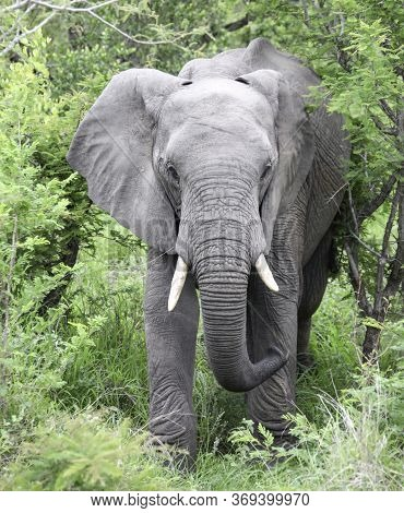 African Elephant With Tusks Goes Straight. The Elephant Feeds On Acacia And Grazes In The Savanna.