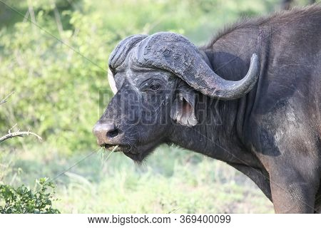 An Old Cape Buffalo Bull Chews Grass. Wild African Buffalo Grazing In The Savanna.