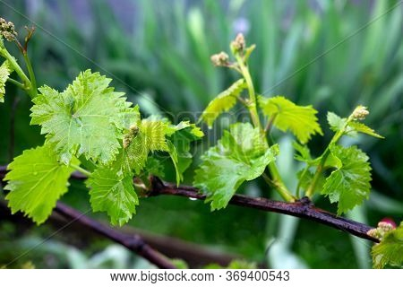 Grape Vine In Spring. Young Green Vine Leaves In The Garden. Winemaking Background