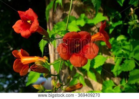 Close Up Of Red Climber Flower Campsis Also Known As Trumpet Creeper And Trumpet Vine Flower. Horizo
