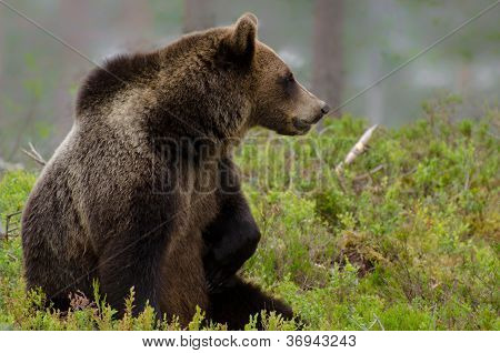 Brown Bear Sitting In The Woods