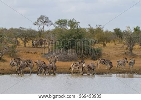 A Peaceful Herd Of Plains Zebra Gather At A Waterhole For A Drink In Kruger, South Africa