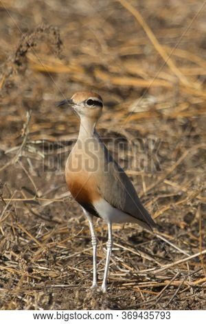 Temmincks Courser (cursorius Temminckii) Standing In The Dry Grass In Kruger National Park, South Af