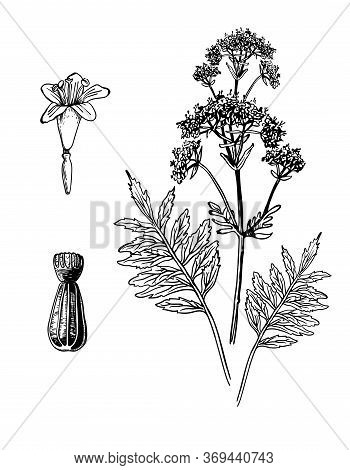 Valeriana Hand Drawn Flower And Seeds With Leafs. Drawing Sketch Valerian Of Forest Plant. Ink Line