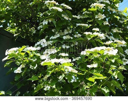 Kalina Flowers. Viburnum Opulus In Russia The Viburnum Fruit Is Called Kalina Viburnum And Is Consid