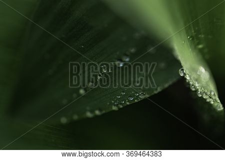Macro Shot Of Green Leaves Of Lily Of The Valley. Leaf Texture, Raindrops And Selective Focus.
