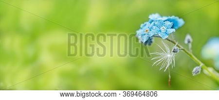 Long Banner Dandelion Seeds. Raindrops And Dew.forget Me Not.forget-me-not Macro. Violet Blue Blur B