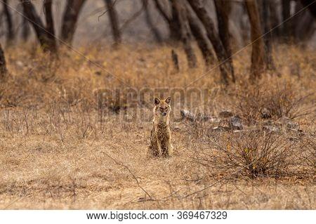 Indian Jackal Or Canis Aureus Indicus Subspecies Of Golden Jackal At Keoladeo National Park Or Bhara