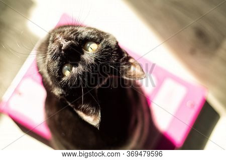 Top View Of Young Black Short-haired Cat Looking In Camera In Sun Light In Sunny Day. Domestic Cat A