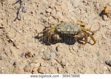 Talon Crab (grapsus Albolineatus) Running Across The Sand On A Hot, Sunny Day