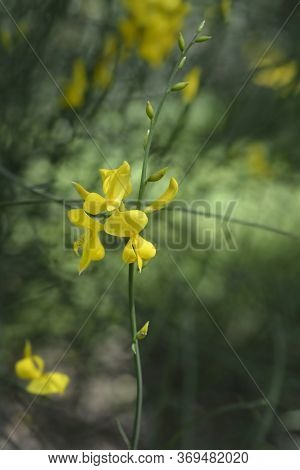 Spanish Broom - Latin Name - Spartium Junceum