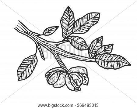 Walnut Tree Plant Sketch Engraving Vector Illustration. T-shirt Apparel Print Design. Scratch Board