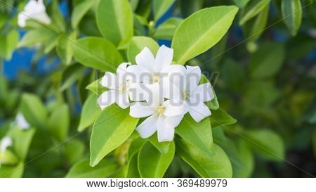 Prettyl White Fresh Pitals Of Orange Jessamine, Tropical Plant In Other Name Are Andaman Satinwood,