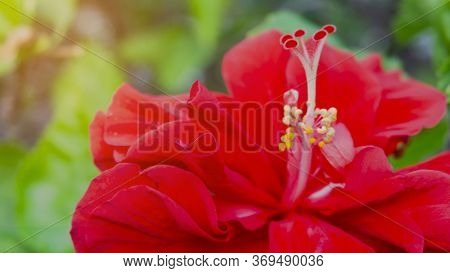 Soft Red Petals Cover Around Stamen And Pistil Of Red Hawaiian Hibiscus Or Called In Other Name Are