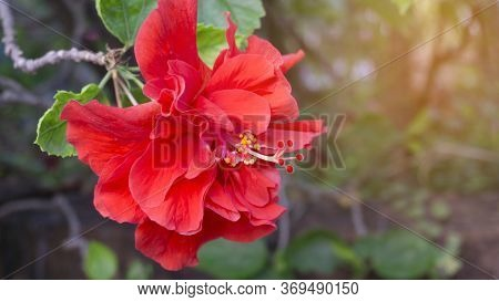 Soft Beautiful Red Petals Cover Around Stamen And Pistil Of Red Hawaiian Hibiscus Or Called In Other