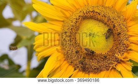 Beautiful Yellow Petals Of Sunflower And The Bees Are Taking Sweet Nectar Sugar From Sweet Pistil, C