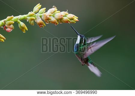 Hummingbird, White-throated Mountain-gem (lampornis Castaneoventris) Flying Next To A Bromelia Toget