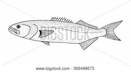 Bluefish. Black Hand Drawn Realistic Outline Vector Image.