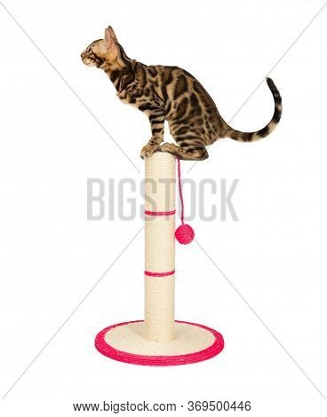 Cute 4 Month Old Bengal Kitten Sits On Top Of A Scratching Post. Black Spotted Tabby Bengal Kitten W