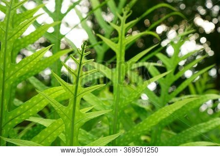 Fresh Green Leaf Of The Wart Fern Of Hawaii With Dew Drops Under Sunlight Morning, Commonly Called M