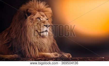 The Mighty Lion Lies At Sunset. African Lion.