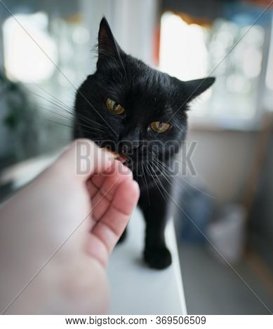 Black Home Cat Tastes Food From Hand. Man Is Feeding Cat From His Hand. Pet Eats Cheese