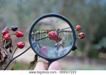 A Hand Holding A Magnifier To Zoom Red Chilli Fruit