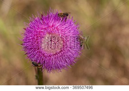 Milk Thistle. Blessed Thistle Flowers, Close-up. Silybum Marianum Herbal Medicine, Thistle Of Saint