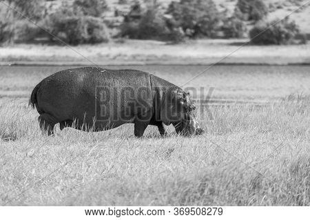 Black And White Image Of An Adult Hippopotamus Grazing On Grassland Next To The Chobe River In Botsw