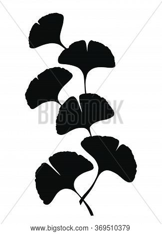 Ginkgo Or Gingko Biloba Branch With Leaves. Nature Botanical Vector Silhouette Illustration, Herbal