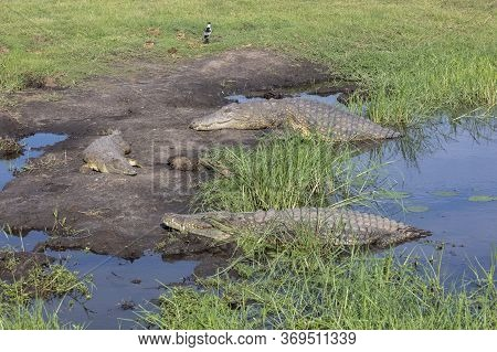A Group Of Nile Crocodiles Resting At The Side Of The Chobe River In Botswana