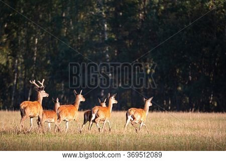 Running Red Noble Deer Group In Autumn Against Forest In The Evening. Autumn Landscape With Herd Of