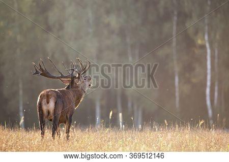 Belling Red Deer In Autumn Against Autumn Forest. Autumn Landscape With Deer. Cervus Elaphus. Natura