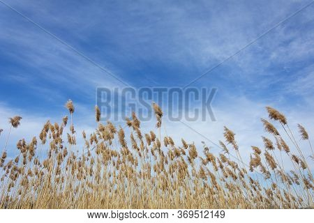 Dry Reed And Bright Blue Sky. Reed Grass With Seeds Pumped By The Wind, Natural Background.