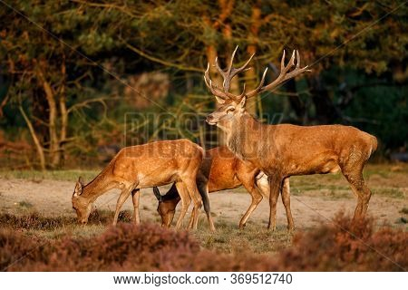 Red Deer Stag Standing On The Moor With Some Female In The Rutting Season In The Hoge Veluwe Nationa