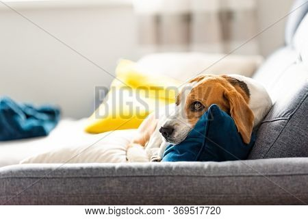 Beagle Dog Tired Sleeps On A Cozy Sofa In Fanny Position. Dog Background Theme