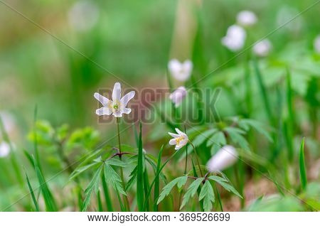 Close Up Of White Flowers In Nature. Nature Background White Flowers. Bright Green Nature White Flow