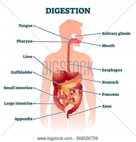 Digestion Vector Illustration. Labeled Educational Internal Organs Info Scheme. Digestive Tract Phys