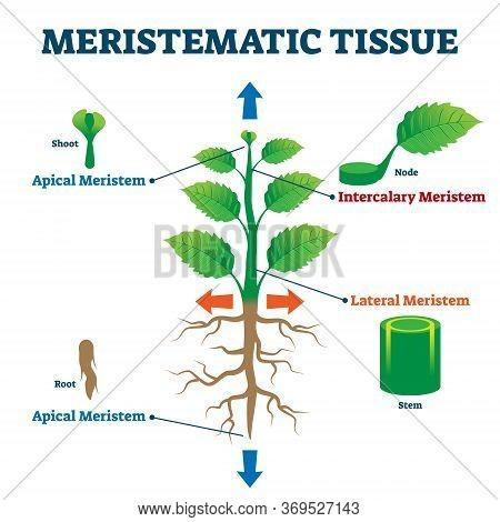 Meristematic Tissue Vector Illustration. Labeled Educational Plant Structure Scheme. Biological Desc
