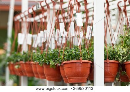 Hanging Pots Of Flowers In Nursery In Garden Store, Greenhouse.