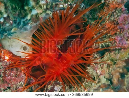 Sea Creature Electric Clam On Coral With Blue Electric Splash. The Dangerous Bright Red Clam Spread